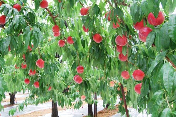 高糖度桃なつっこ